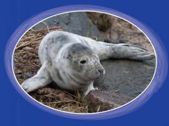 Pastaigās piekrastē aicina suņus turēt pavadā – roņu mazuļu un arī četrkājaino draugu drošības labā