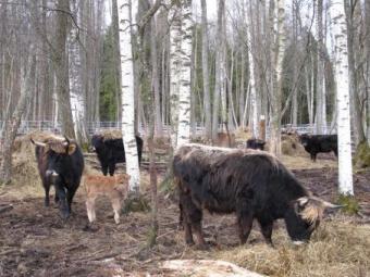33 Ķemeru Nacionālā parka  taurgovis tiek gatavotas pārvešanai uz ganību teritorijām ārvalstīs