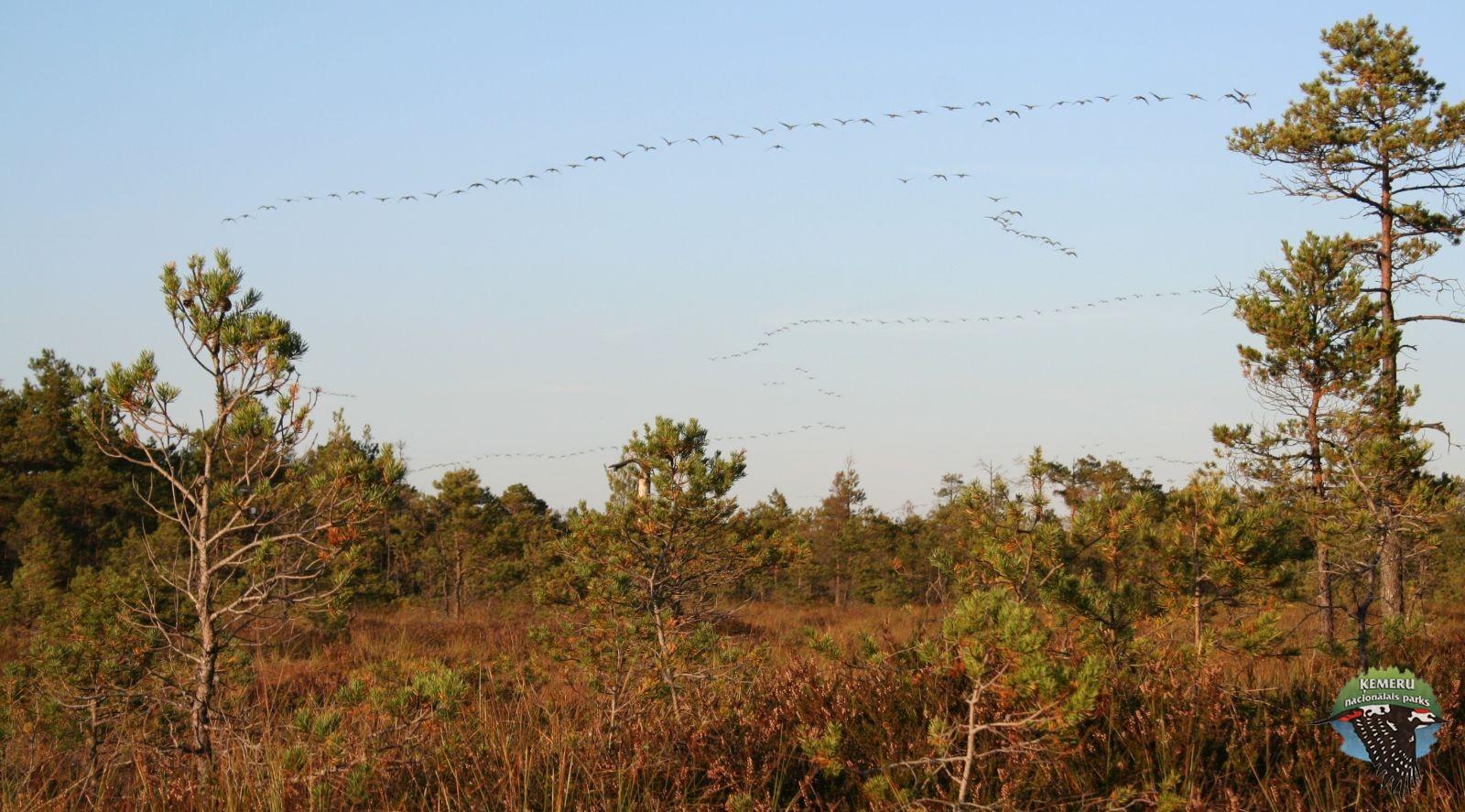 Migrējošo zosu bars virs Lielā Ķemeru tīreļa. Foto: Andis Liepa
