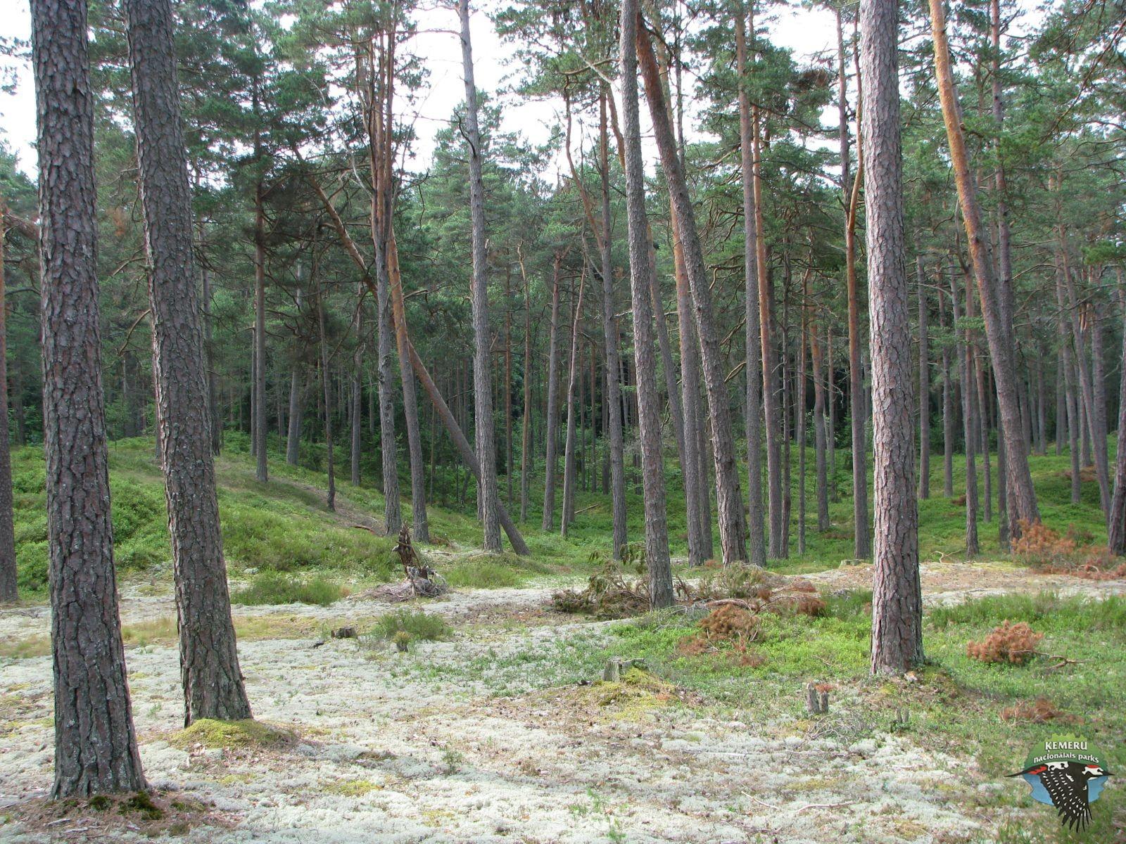 Sauss priežu mežs. Foto: Agnese Priede